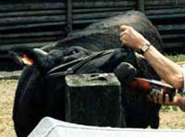 A Matsuzaka cow strains against having beer poured into its mouth.