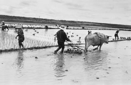 A farmer plows a rice paddy with an ox.
